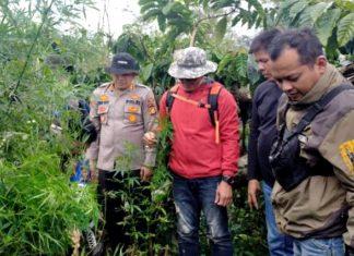 Polisi Ungkap Ladang Ganja Siap Panen Seluas 1,5 Hektare